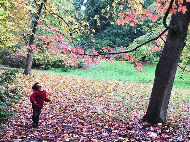 Child looks up at maple tree's colorful fall leaves